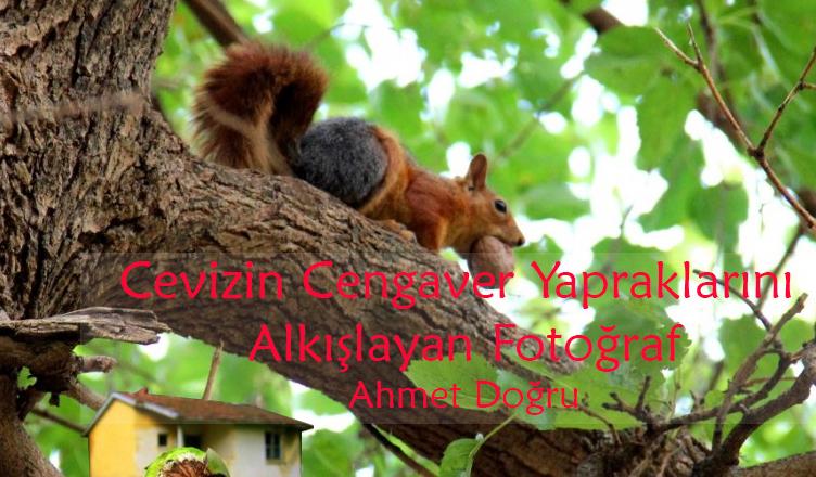 Cevizin Cengaver Yapraklarını Alkışlayan Fotoğraf / Ahmet Doğru